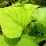 Листья батата сердцевидной формы