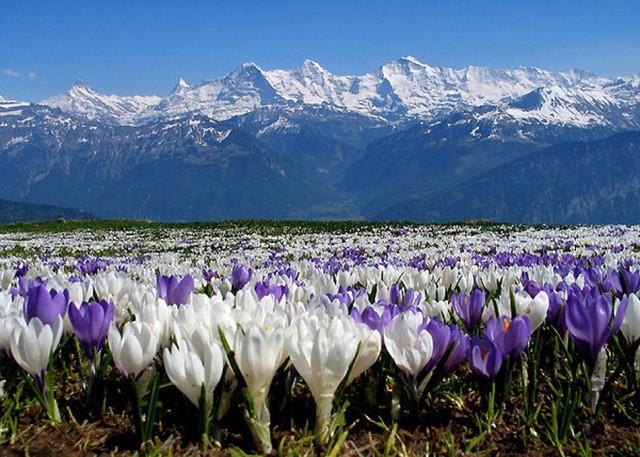 Поля крокусов в горах