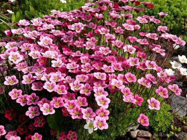 Камнеломка Арендса нуждается в плодородной почве и, самое главное, почва должна иметь хороший дренаж