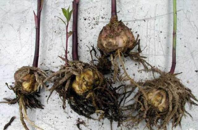Прорастание лилий в результате неправильного хранения