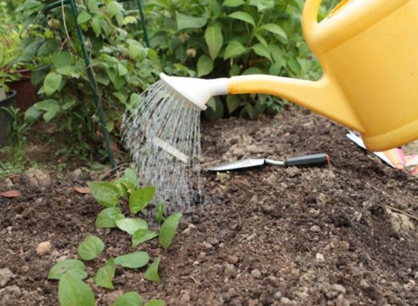Клематис Маньчжурский не выносит слишком сильного переувлажнения почвы, однако и недостаток влаги может сказываться на цветении и росте