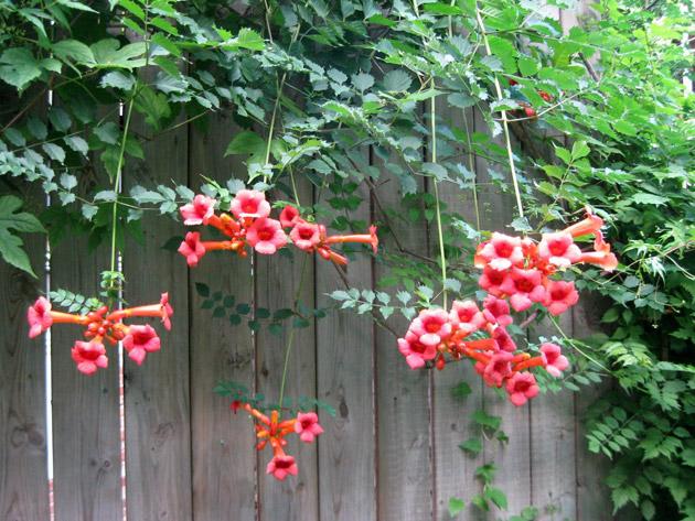 Необыкновенно-красивые цветы кампсиса, свисающие с забора