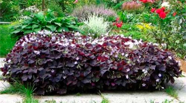 Кислица украшает сад