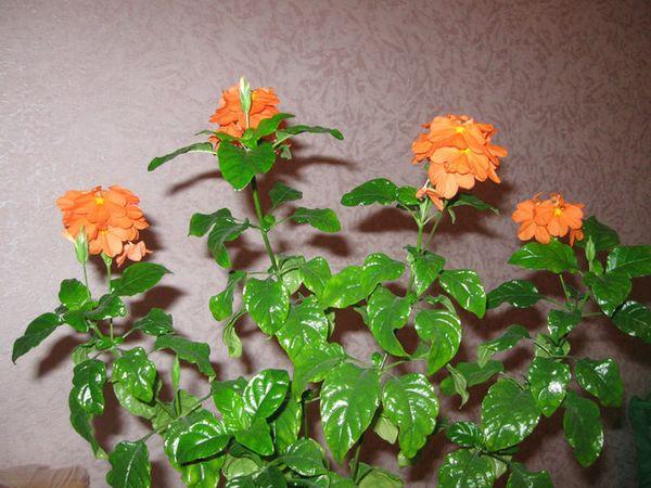 Цветок кроссандра - уход и 24