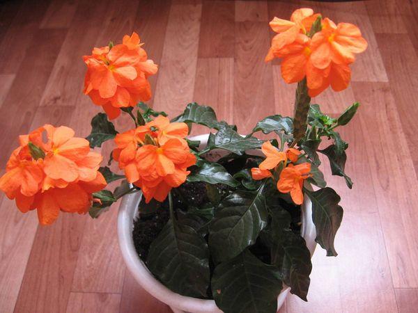 После покупки цветку необходима пересадка в правильный горшок