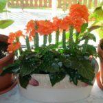 При домашнем выращивании кроссандра вырастает скромных размеров