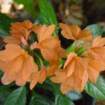 Одно из главных достоинств - красивые яркие цветки