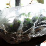 Для создания влажных условий высаженные черенки накрывают пленкой