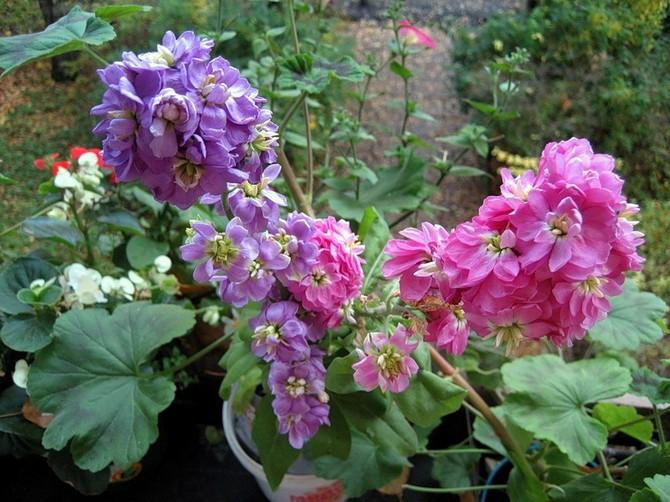 Недавно посаженный и зацветший цветок левкой