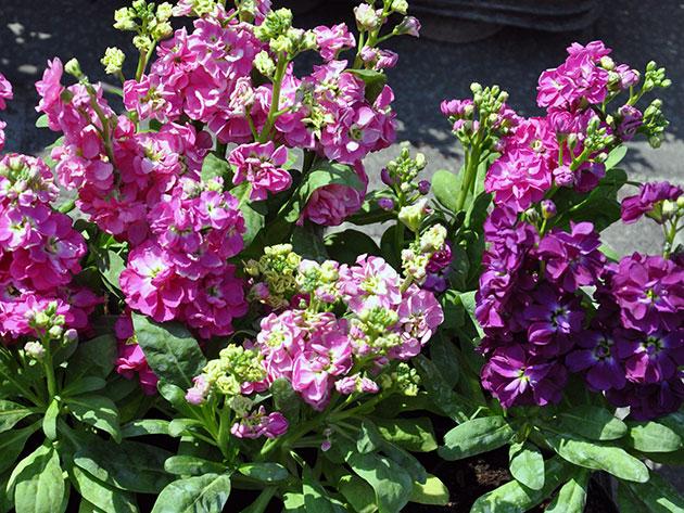 Розовые цветы маттиолы
