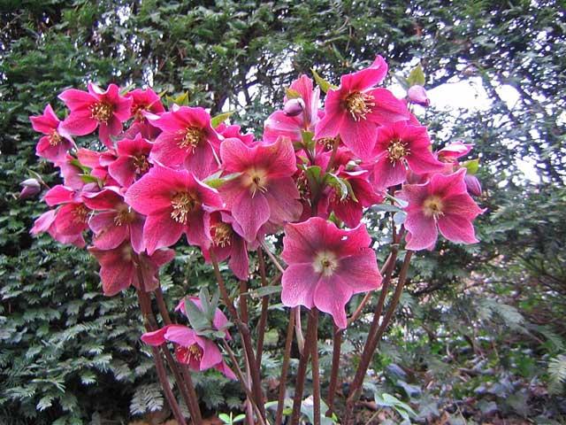 Морозник с красными цветками