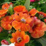 Цветки немезии