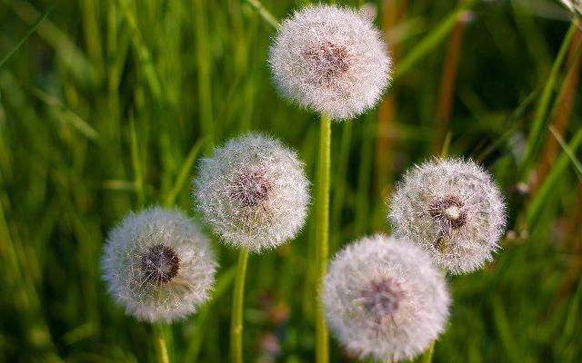 Цветение цветка одуванчика