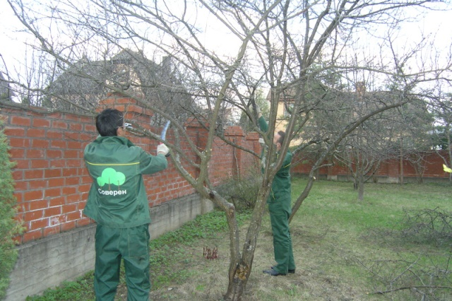 Обрезка дерева секаторами