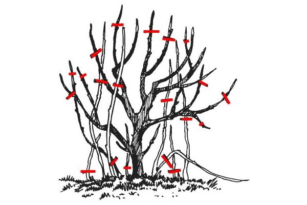 Схема правильной обрезки черной смородины осенью