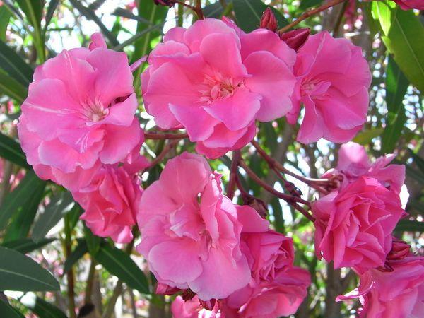 Олеандр может цвести круглый год при хороших условиях