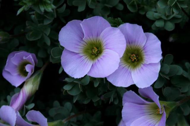 Цветок кислица в близи