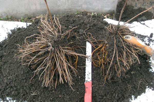 Размножение клематиса Маньчжурского делением корня