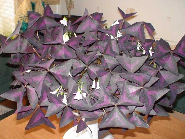Цветение фиолетовой кислицы