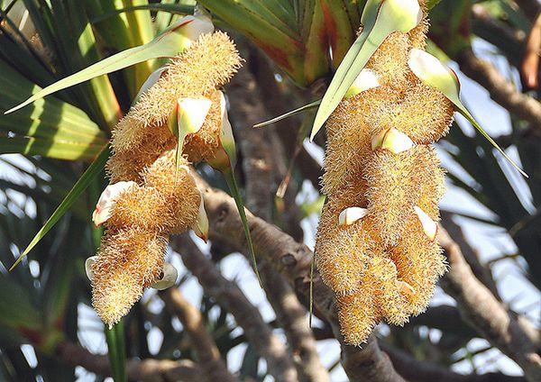 Плоды пандануса могут быть опасны для детей