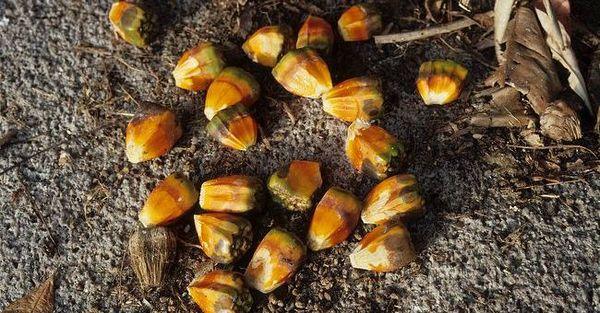 Семена пандануса