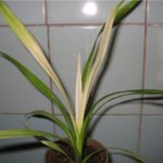 Если белеют листья - уменьшите уровень освещения