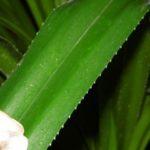 На листьях пандануса расположены острые иглы