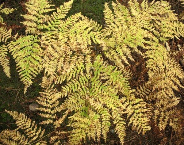 Листья могут сохнут из-за недостаточной влажности воздуха