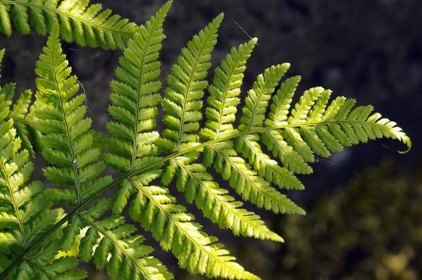 Внешний вид листьев папоротника