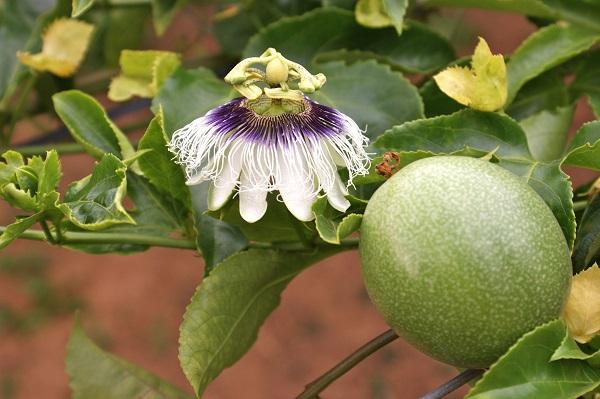 плоды растения пассифлора