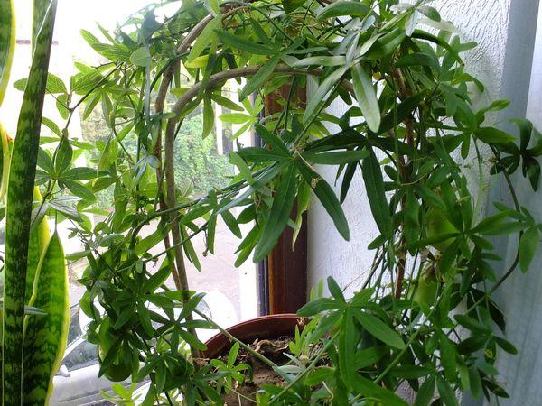 При правильном режиме полива пассифлора растет быстро и яркой окраски