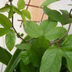 Лиановидные листья пассифлоры