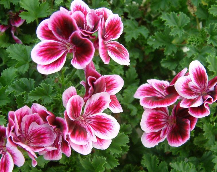 Цветок пеларгония крупным планом