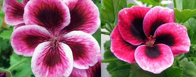 Слева цветок пеларгонии, справа - герани
