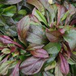 Ярко-зеленые гладкие листья пенстемона