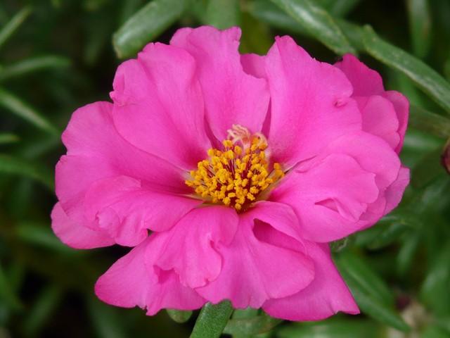 Цветение цветка портулак