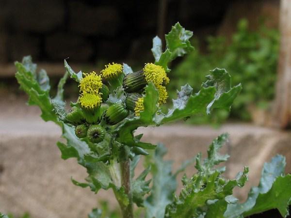 В больших дозах ядовитое растение может вызывать поражение ЦНС и печени