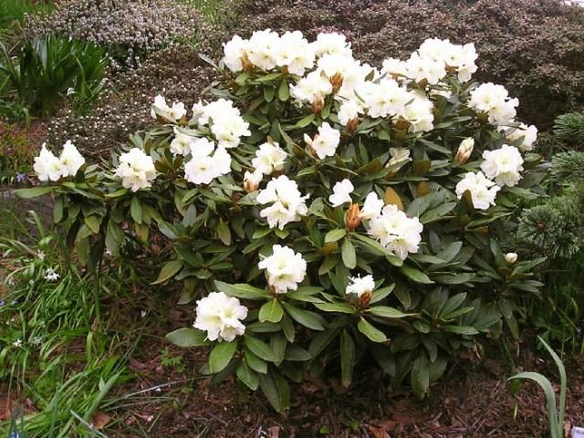 Цветение горного цветка рододендрона кавказского