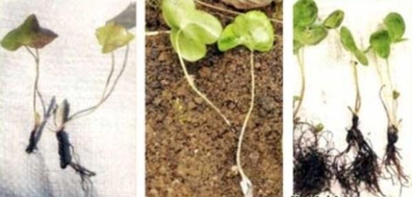 3 способа размножения печеночницы
