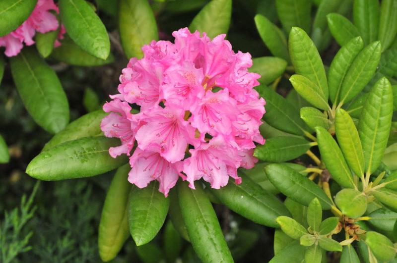 Цветок рододендрона крупным планом