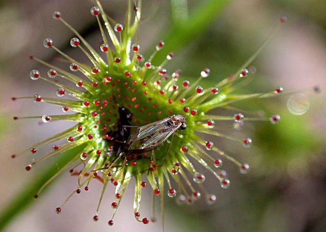Муха, севшая на лист росянки