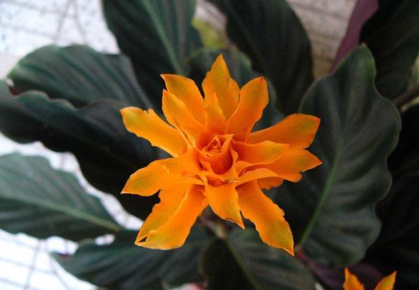 Цветение Калатеи Крокатой обычно начинается в январе - феврале и длится не менее двух месяцев