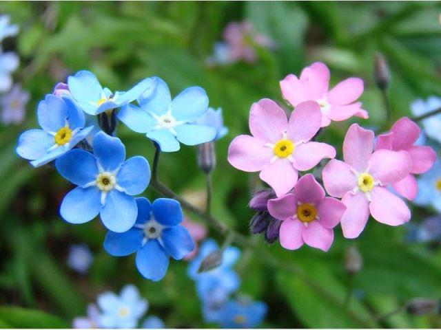 Романтический цветок незабудка