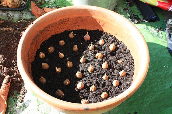 Можно посадить тюльпаны в сетчатых корзинках либо в пластмассовых ящиках из-под овощей
