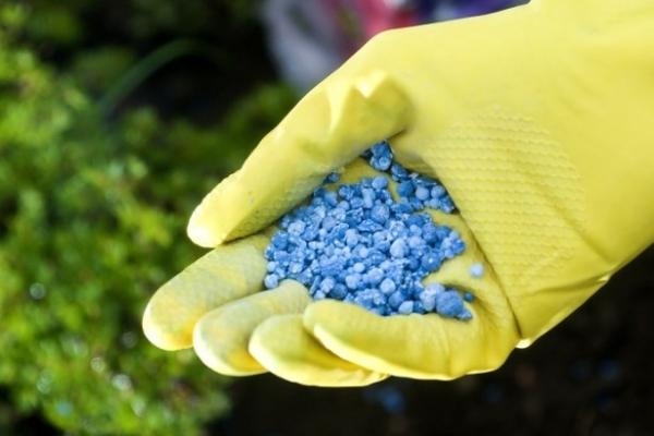 Уход заключается в поливах, рыхлении почвы и борьбе с сорняками, подкормках, профилактике и борьбе с заболеваниями и вредителями