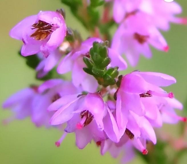 Цветок вереска крупным планом