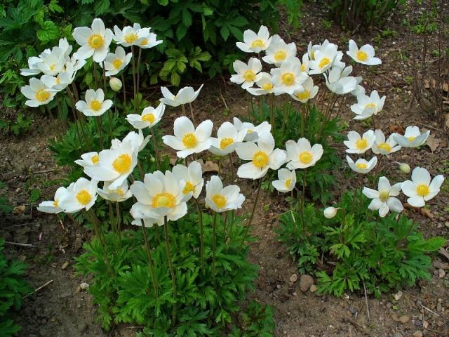 Анемоны на садовом участке
