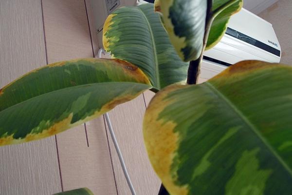 Листья желтеют от слишком частого полива