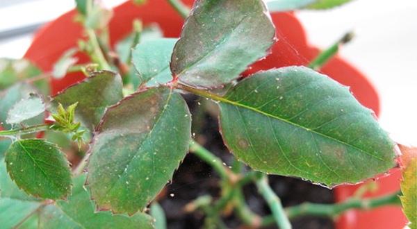 Появление клещей на комнатных розах происходит из-за неправильного или недостаточного ухода
