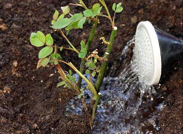 В конце сентября полив роз нужно завершить полностью